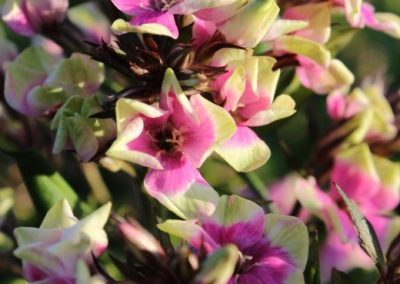 Phlox Neon Mike's Choice