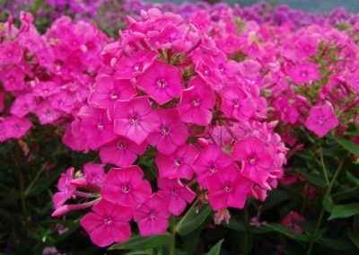 Phlox Pink Attraction