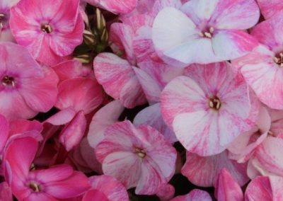 Phlox Potpourri Pink