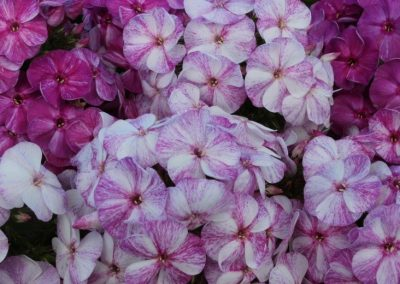 Phlox Potpourri Purple