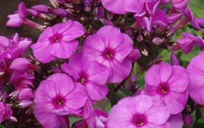 Phlox paniculata Top Shelf plus® Series