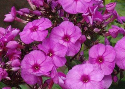 Phlox Purple Elite