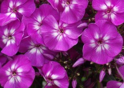Phlox Purple Kiss
