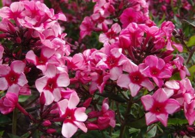 Phlox Red Caribbean
