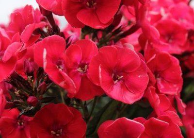 Phlox Strawberry Daiquiri
