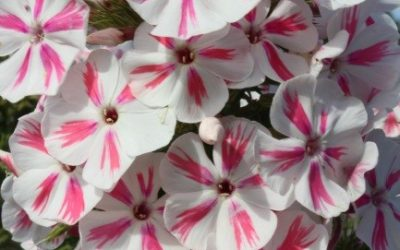 Phlox paniculata Twist® Series