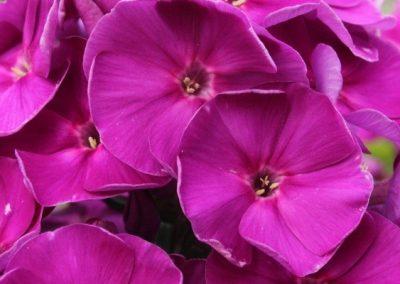 Phlox Younique Old Purple