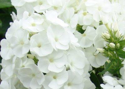 Phlox Younique White