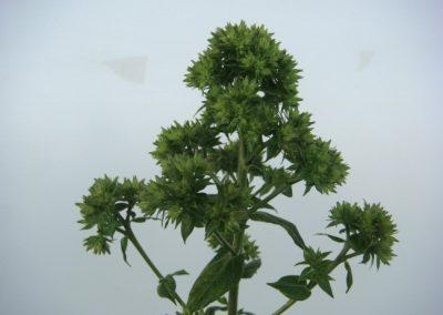 Phlox paniculata Green Lady
