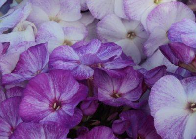 Phlox paniculata Freckle® Series