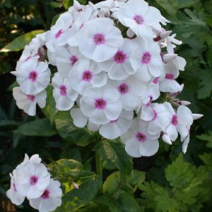 Phlox paniculata on variety