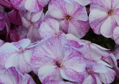 Phlox paniculata Potpourri® Series