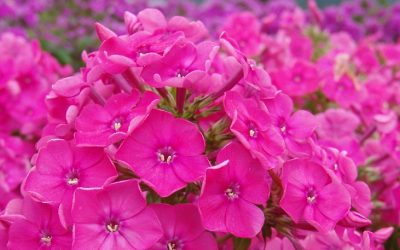 Phlox paniculata Top Shelf® Series