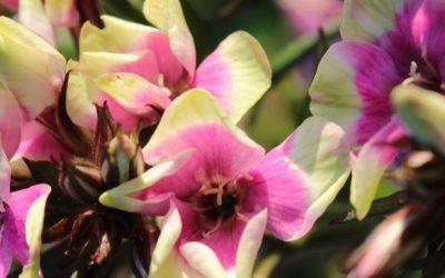 Phlox paniculata hybrid Neon® Series