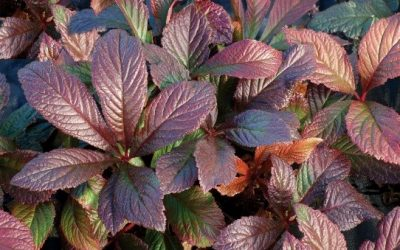 Rodgersia 'Bronze Peacock'®