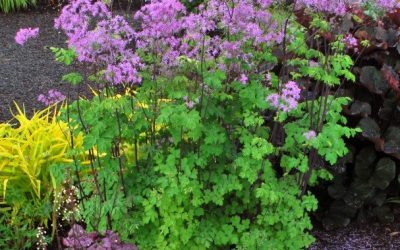 Thalictrum Aquilegifolium 'Black Stockings'®