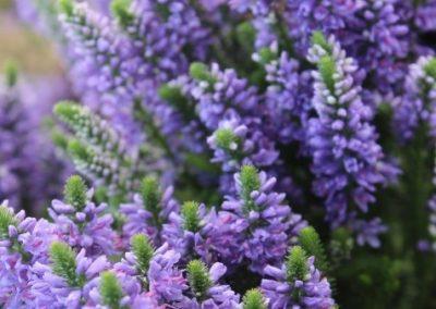 Veronica Hybrid Blue Mountains®01