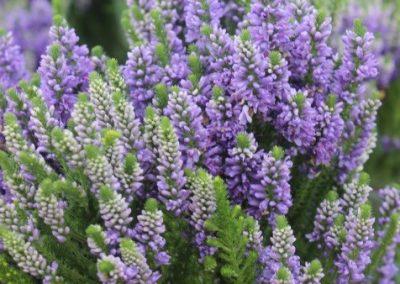 Veronica Hybrid Blue Mountains®03