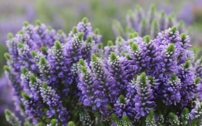 Veronica Hybrid Blue Mountains®