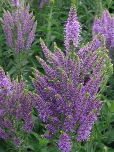 Veronica Plumosa Lavender Plume