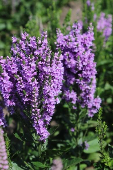 Veronica spicata x longifolia hybrid ABUNDANCE® 01
