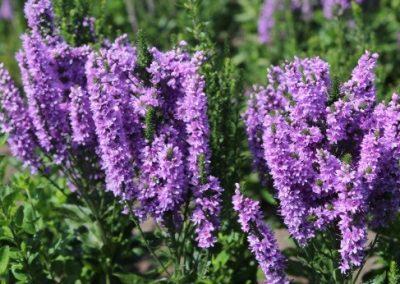 Veronica spicata x longifolia hybrid ABUNDANCE® 02