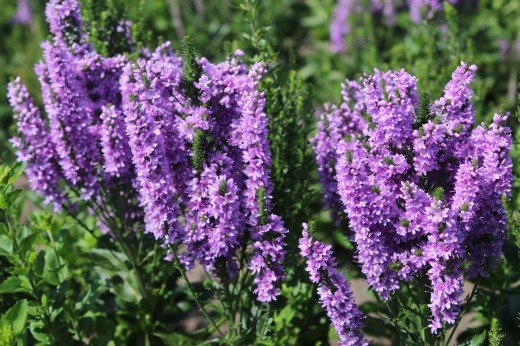 Veronica spicata x longifolia hybrid ABUNDANCE®