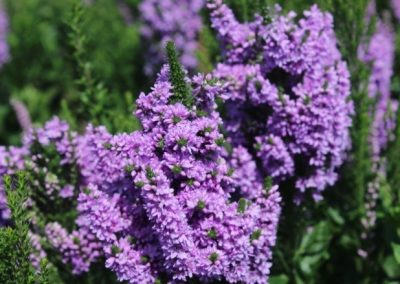 Veronica spicata x longifolia hybrid ABUNDANCE®4